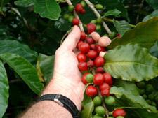 Hand Picking Berry